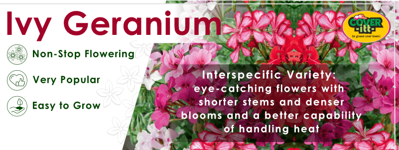 Interspecific Ivy geranium